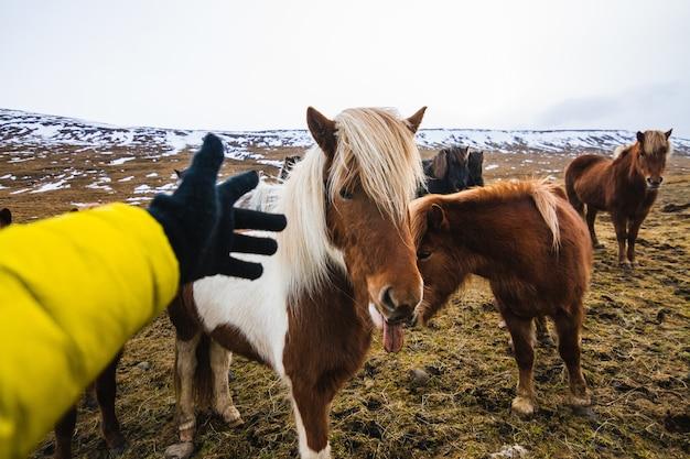 Hand, die versucht, ein shetlandpony in einem feld zu berühren, das mit gras und schnee in island bedeckt ist Kostenlose Fotos