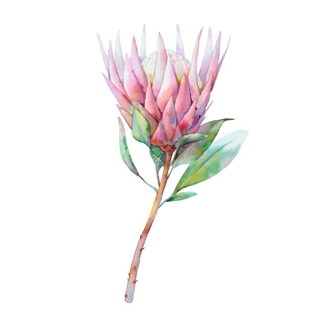 Handgemaltes blumenobjekt. botanische aquarellillustration der proteablume. natürliches element schließen oben lokalisiert auf weißem hintergrund Premium Fotos