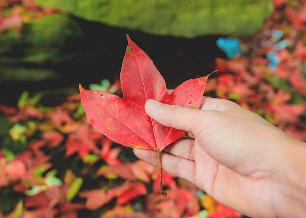 Handholding lässt rotahorn im farbänderungsherbstwald Premium Fotos
