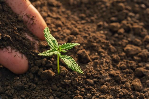 Handpflanzen des hanfs im garten mit sonnenschein Premium Fotos