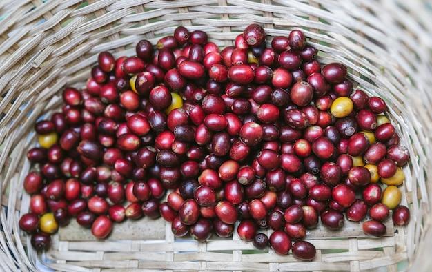 Handverlesene reife rote arabica-kaffeekirschen im korb am akha-dorf Premium Fotos