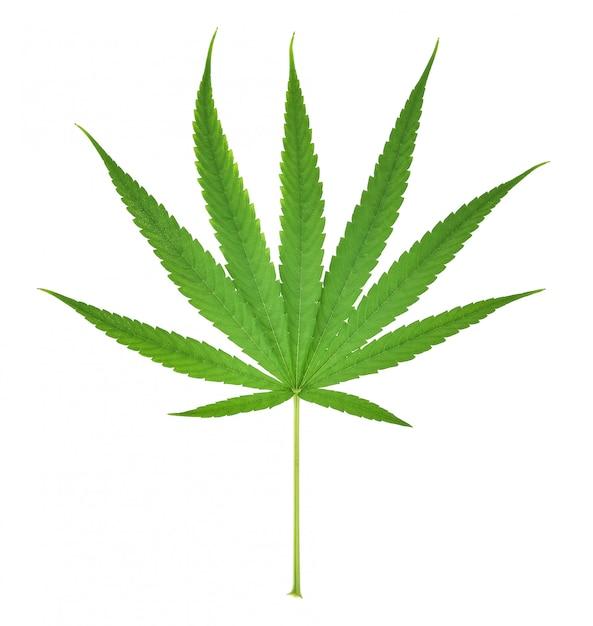 Hanfblatt, marihuanablatt lokalisiert auf weißem hintergrund Premium Fotos