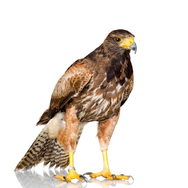 Harris's hawk auf weiß Premium Fotos