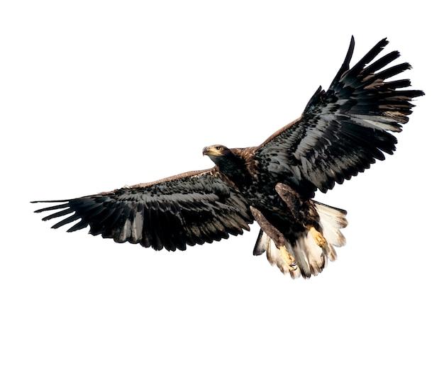 Harris's hawk isoliert auf weiß Premium Fotos