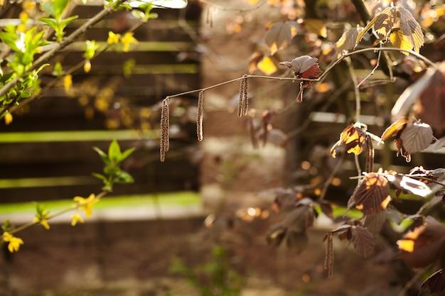 Haselnusszweige mit blättern und kätzchen im frühjahr im garten. Premium Fotos
