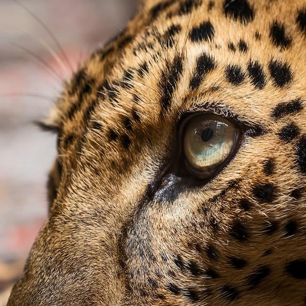 Hautnah leopardenauge Premium Fotos