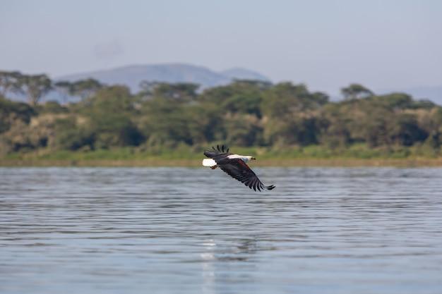 Hawk fliegt über das wasser Kostenlose Fotos