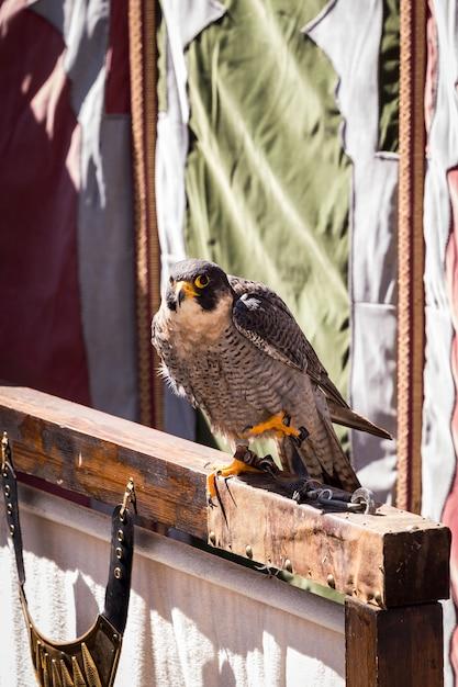 Hawk posiert ruhig in einer ausstellung Premium Fotos