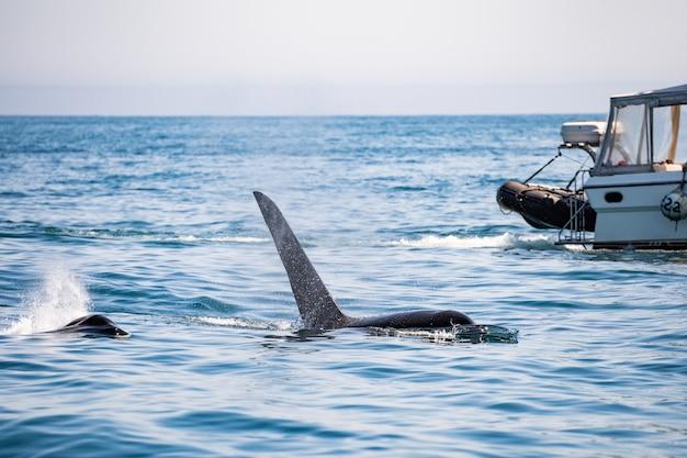 Heck eines buckelwals vor einem segelboot nahe tofino, vancouver island, britisch-columbia Premium Fotos