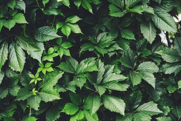 Hecke des großen grüns verlässt im frühjahr Premium Fotos