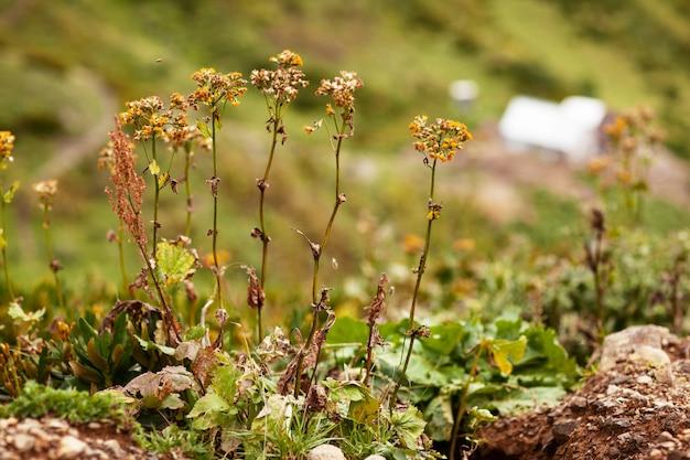 Heilpflanzen wachsen in den bergen auf almwiesen Premium Fotos