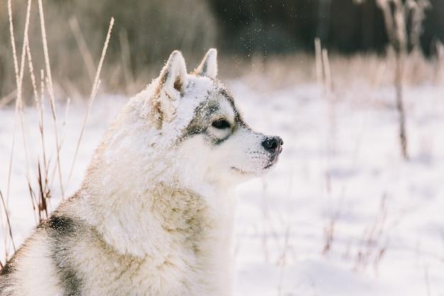 Heiserer hund auf schneebedecktem feld im winterwald. rassehund Premium Fotos