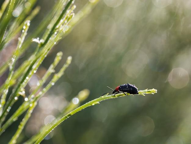 Heliotaurus ruficollis. käfer in seiner natürlichen umgebung fotografiert. Premium Fotos