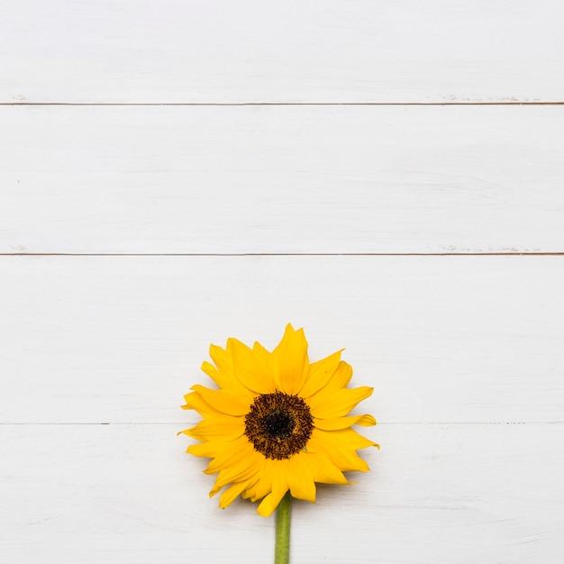Helle sonnenblume mit großem gelbem üppigem kopf Kostenlose Fotos