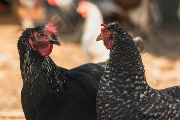 Hennen, die einander in einem bauernhofhinterhof betrachten Kostenlose Fotos