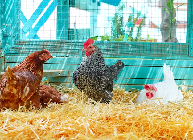 Hennen in einem geflügelhennenstall mit stroh Premium Fotos