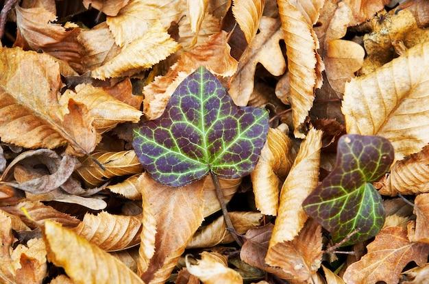 Herbst efeu Premium Fotos