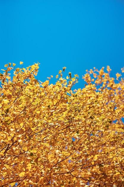 Herbstbaum mit goldenen blättern auf blauem himmel Premium Fotos