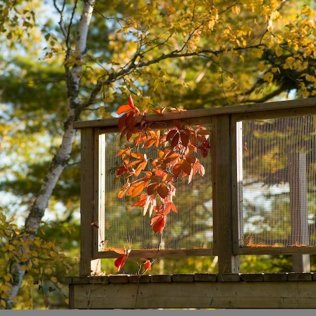 Herbstlaub neben einer plattform, see des holzes, ontario, kanada Premium Fotos