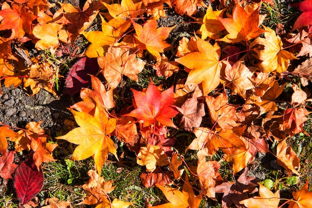 Herbstlaubhintergrund, die blätter ändern farbe. Premium Fotos