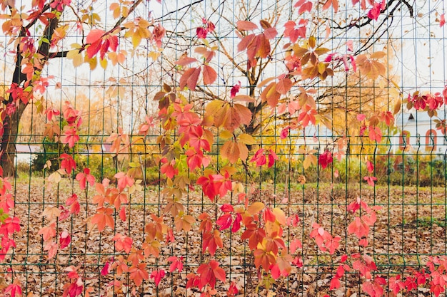 Herbstzweig des ahornbaums mit roten blättern. Premium Fotos