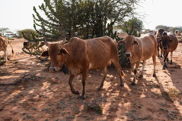 Herde kühe um einen baum auf dem schlammigen boden in samburu, kenia Kostenlose Fotos