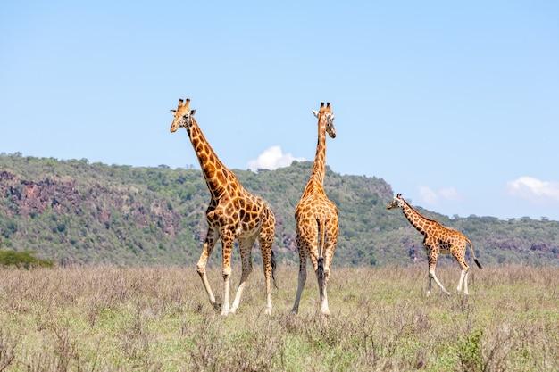Herde mit drei giraffen in der savanne Kostenlose Fotos