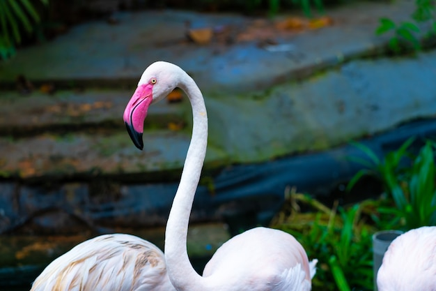 Herde rosa flamingos im zooteich. Premium Fotos