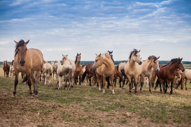 Herde wilder pferde laufen über das feld Premium Fotos