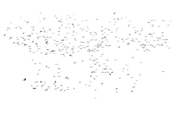 Herden fliegender tauben isoliert Premium Fotos