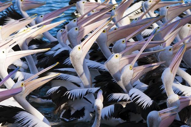 High angle closeup schuss einer herde pelikane Kostenlose Fotos