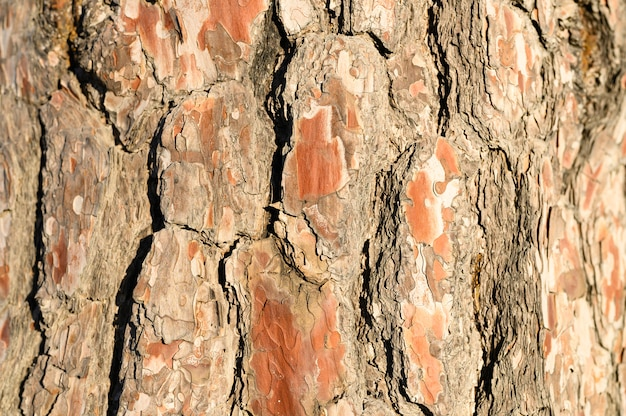 Hintergrund der alten kiefernrinde, holzige textur Premium Fotos