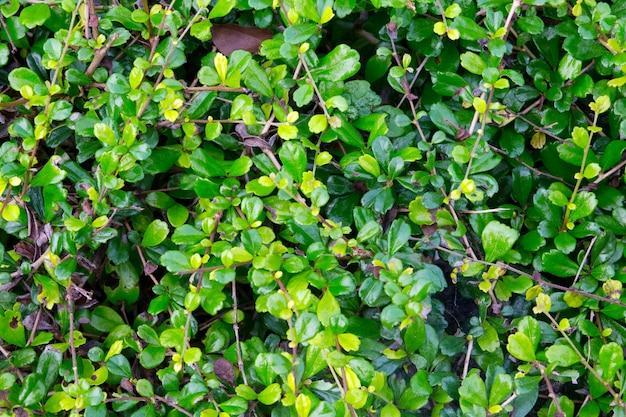 Hintergrund mit blättern kleine blätter mit dunkelgrüner farbe. natürlich. Premium Fotos