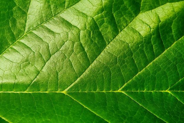 Hintergrundbeschaffenheit des grünen blattes Premium Fotos