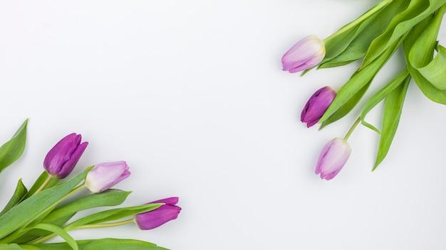 Hohe winkelsicht der purpurroten tulpe blüht auf weißem hintergrund Kostenlose Fotos