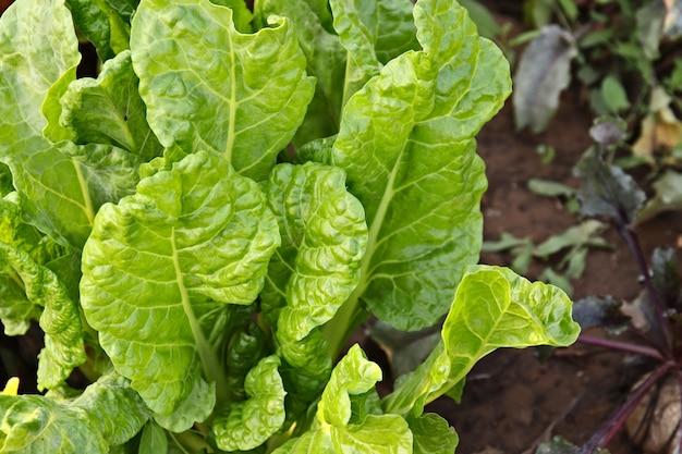 Hoher winkelschuss einer spinatpflanze mit frischen blättern in einem garten Kostenlose Fotos