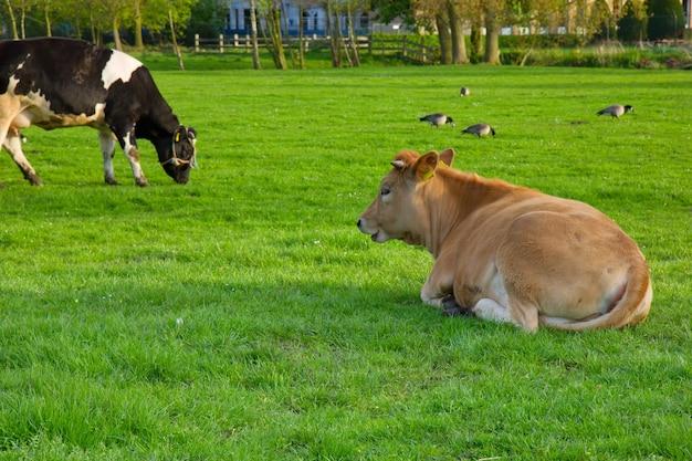 Holland kuh, die auf grünem grasrasen ruht Premium Fotos