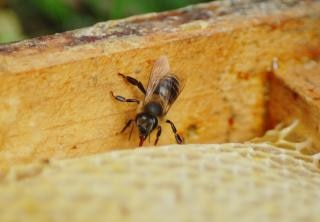 Honigbiene, flug Kostenlose Fotos