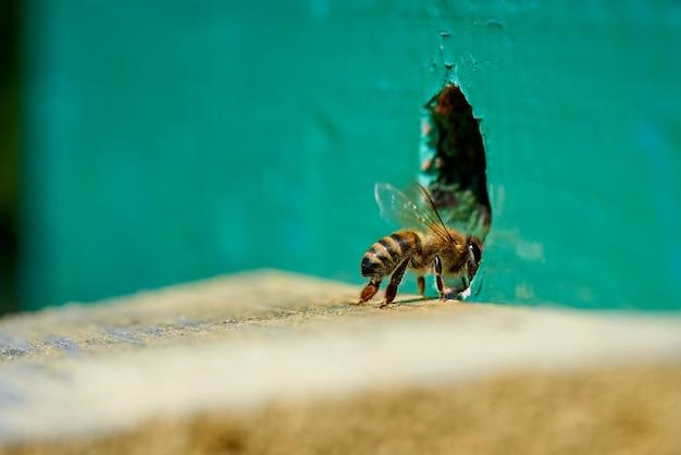 Honigbiene im eingang zu einem hölzernen bienenstock. Premium Fotos