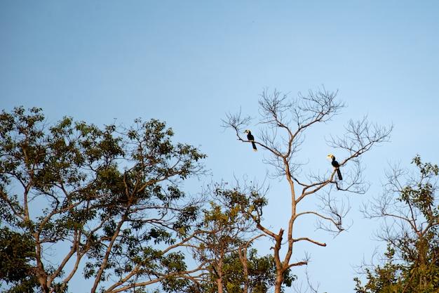 Hornbills auf hohen bäumen Premium Fotos