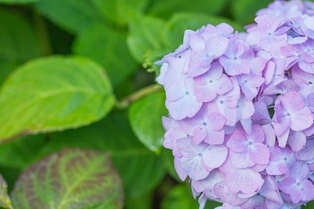 Hortensie im garten nach dem regen Premium Fotos