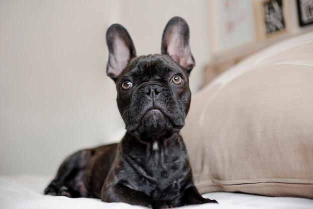 Hübsche kleine französische bulldogge der nahaufnahme Kostenlose Fotos