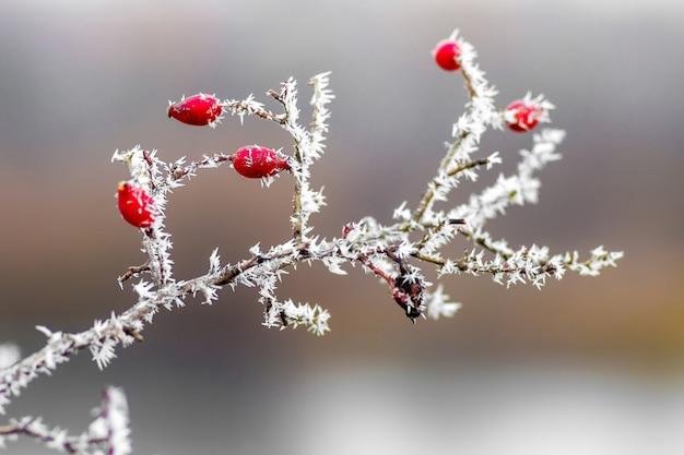 Hüftzweig mit roten beeren, mit frost bedeckt Premium Fotos