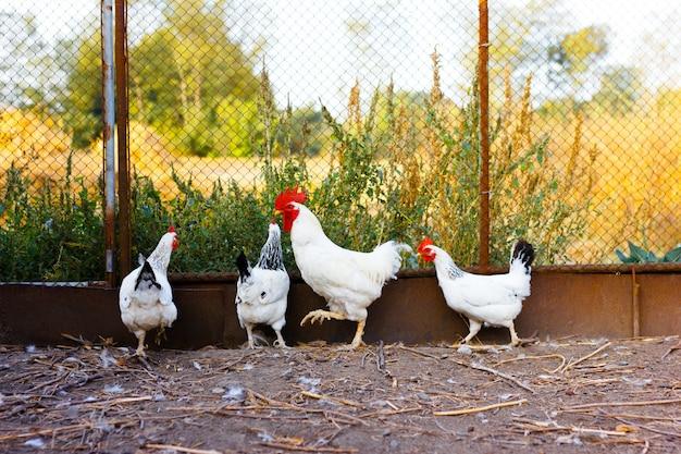 Hühner gehen um den hof, scheunenhof auf einem bauernhof für die geflügelzucht Premium Fotos