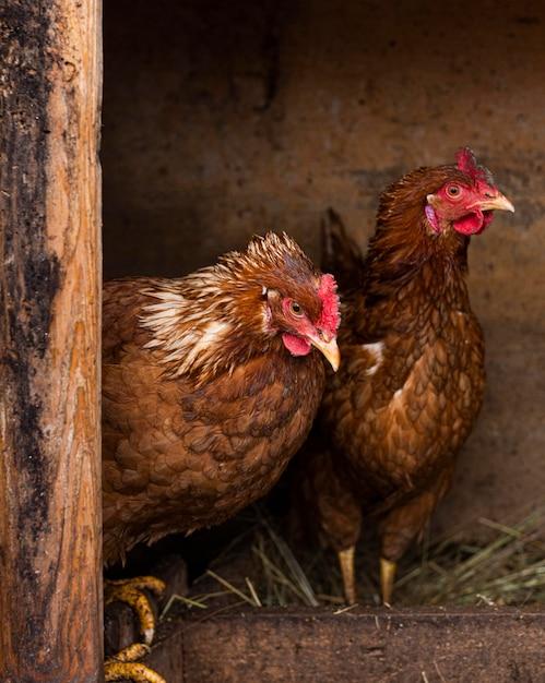 Hühner im nestland-lebensstilkonzept Kostenlose Fotos