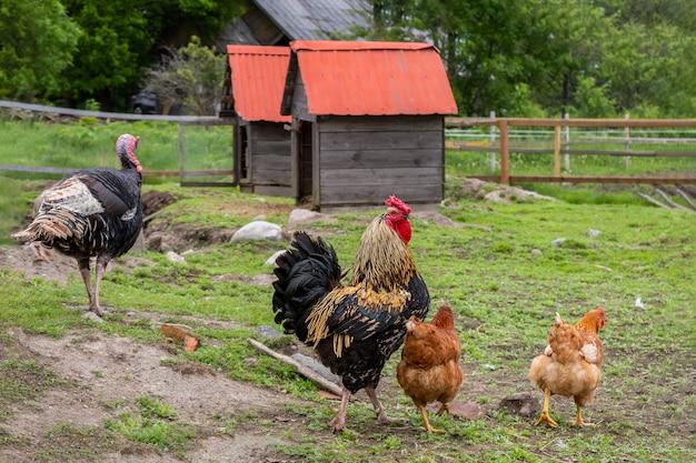 Hühner und truthahn grasen im hof auf grünem gras Premium Fotos