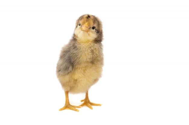 Huhn auf weiß Premium Fotos