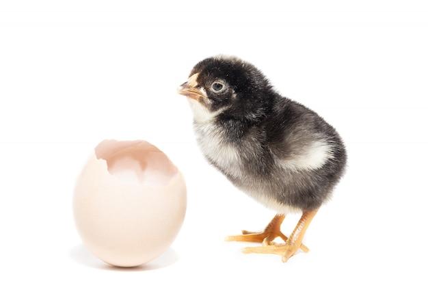 Huhn aus der schale geschlüpft Premium Fotos