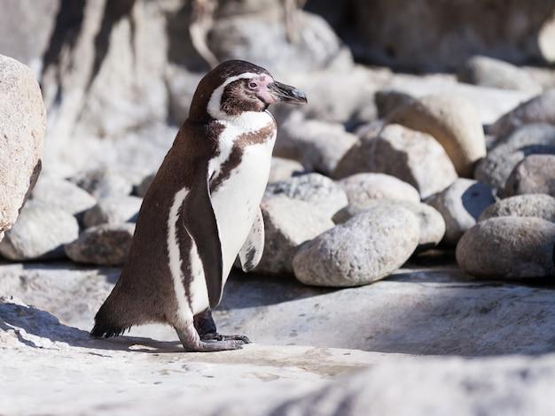 Humboldt pinguin auf steinen Kostenlose Fotos