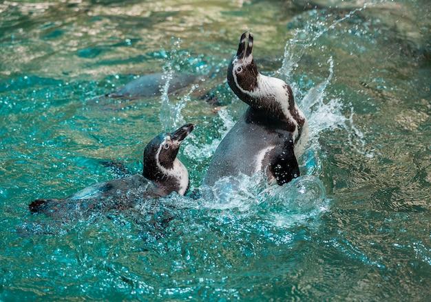 Humboldt-pinguin, peruanischer pinguin, wasser spielend. Premium Fotos